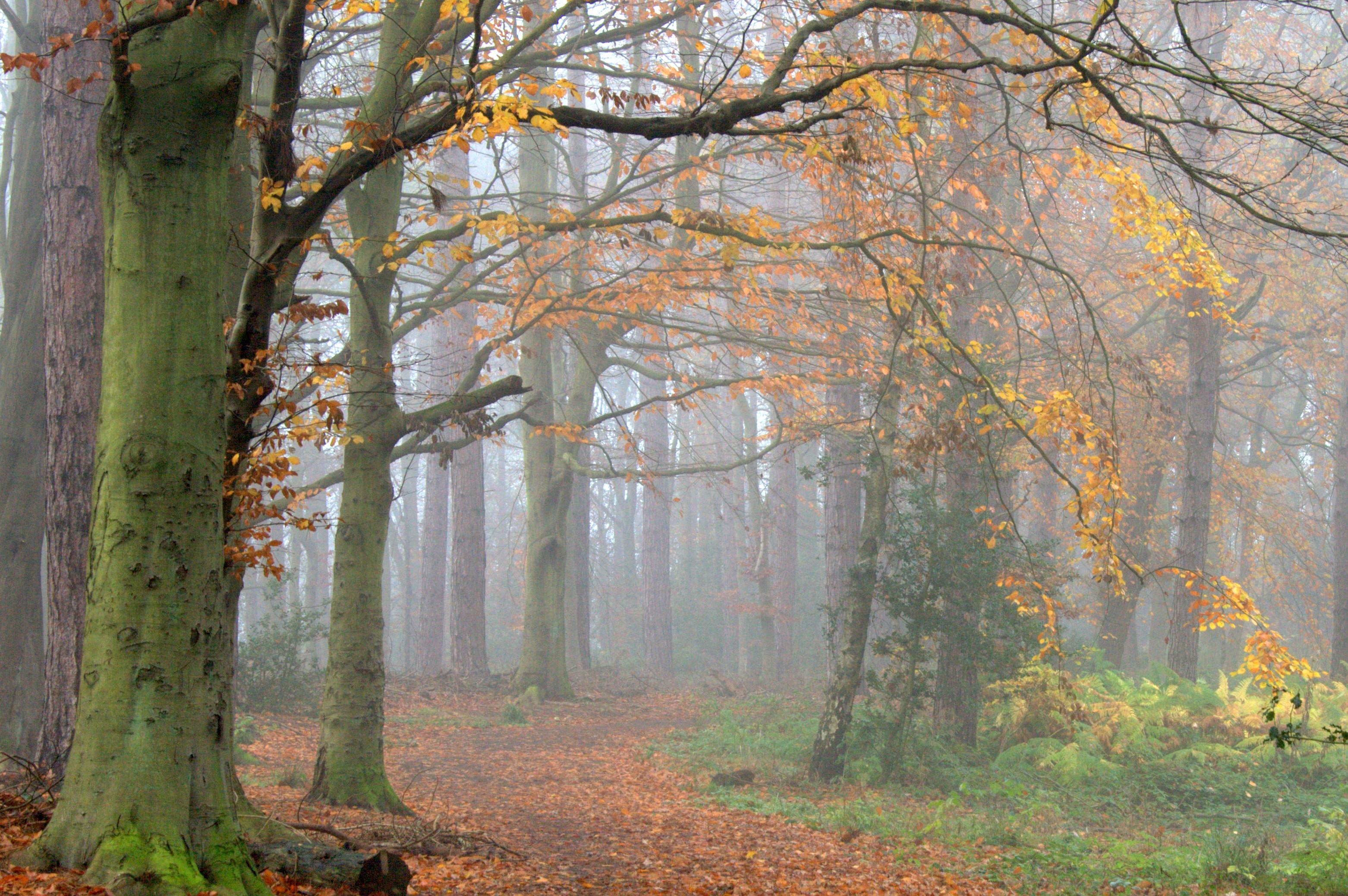 Autmn Mist in the Woods